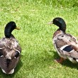 Ducks sitting on the grass . — Stock Photo