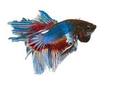Siamese Fighting Fish isolated on white — Stock Photo