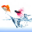 A Siamese Fighting Fish jumping chase a golden fish on white — Stock Photo