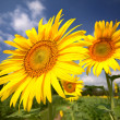 Green field, grass, blue sky and white clouds, sunflowers — Stock Photo #49404795