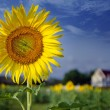 Green field, grass, blue sky and white clouds, sunflowers — Stock Photo #49404941