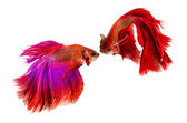 Two Siamese Fighting Fishes isolated on white background. — Stock fotografie