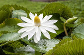Brightly lit, waterlily (lotus) floating on pond — Stock Photo