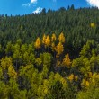 Stock Photo: Aspen trees begin fall color transformation