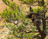 American Bald Eagle Nest — Foto de Stock