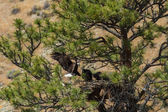 American Bald Eagle Nest — Stock Photo