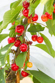 Ripening Bing Cherries — Stock Photo