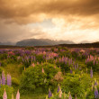 Stock Photo: Beautiful view of flower garden and mountain in sunset time, South Island, New Zealand