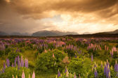 Beautiful view of flower garden and mountain in sunset time, South Island, New Zealand — Stock Photo
