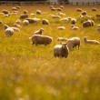 Group of sheep in farm, South Island, New Zealand — Stock Photo