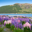 Beautiful view and landscape of colorful lupin garden near Tekapo lake, South Island, New Zealand — Stock Photo #39947623