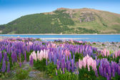 Beautiful view and landscape of colorful lupin garden near Tekapo lake, South Island, New Zealand — Stock Photo