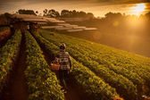 Beautiful landscape and fresh strawberries farm in winter at Chiangmai Thailand — Stock Photo