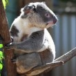 Cute koala in its natural habitat of gumtrees - Stock Photo