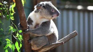 Cute koala in its natural habitat of gumtrees — Stock Video