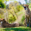 Two african cheetahs relaxing in the grass - Stock Photo