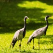 Couple of egrets in nature — Stock Photo
