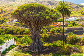 Millennial Drago tree at Icod de los Vinos, Tenerife Island — Stock Photo