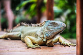 Portrait with a large green iguana — Stock Photo