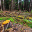 Stock Photo: Deforested pine forest image