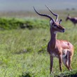 Male impala antelope in the masai mara reserve in kenya africa - Stock Photo