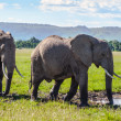 Foto Stock: Pair of Africelephant in savanna