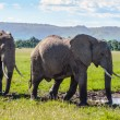Stock Photo: Pair of Africelephant in savanna
