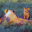 Lions family in masai mara kenya — Stock Photo