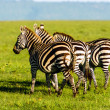 Royalty-Free Stock Photo: Herd of Plains Zebra (Equus quagga) in Kenya