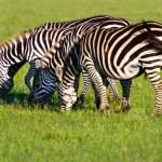 Herd of Plains Zebra (Equus quagga) in Kenya — Stock Photo #19275673