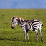 Herd of Plains Zebra (Equus quagga) in Kenya — Stock Photo #19275717