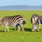 Herd of Plains Zebra (Equus quagga) in Kenya — Stock Photo #19275983