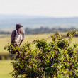 Martial Eagle sitting on a branch in Masai Mara Kenya — Stock Photo