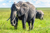 African elephant in the bush in Africa — Stock Photo