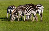 Herd of Plains Zebra (Equus quagga) in Kenya — Stock Photo