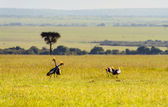 Crowned-Cranes group in Masai Mara Kenya — Stock Photo