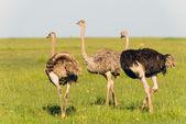 Ostriches in the masai marai National Park, kenya — Stock Photo