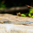 Red Headed Agama Lizard at Abela Rock — Stock Photo