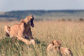 Two lionesses in the African savanna — Stock Photo