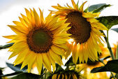 Fully blossomed sunflower with blurred flowers in the background — Stock Photo
