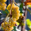 White grape on a branch — Stock Photo