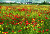 Closeup of red poppies on cereal field in summer — Stock Photo