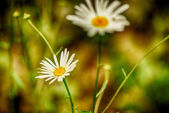 Soft-focus close-up of wildflowers — Stock Photo
