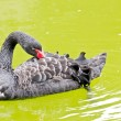 Black Swan on pond water - Beautiful background — Stock Photo