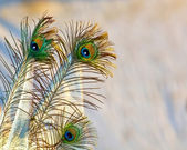 Peacock Wings Background — Stock Photo