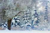 Scena invernale - pini innevati — Foto Stock
