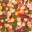Fallen maple leaves autumn background — Stock Photo