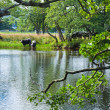 图库照片: Cattle drinks from river Lochay, near Killing, Scotland