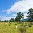 Sheep grazing on marshy plain between Loch Tay and confluence of — Stock Photo