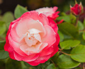 Variegated rose — Stock Photo